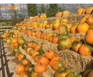 Pumpkins on bales of hay